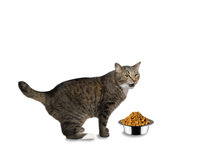 Cat hungry and is going to eat. Cat is hungry and is going to eat royalty free stock photography