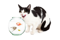Cat Hungry For Pet Fish Royalty Free Stock Photography