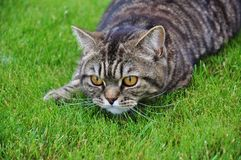 Cat on the hunt. Tabby cat on the green grass gazing Royalty Free Stock Photography