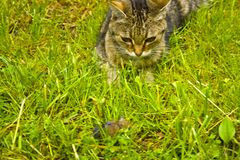 A cat on the hunt in the grass. A cat just before the attack. A cat on the hunt in the grass and observes a mouse royalty free stock images