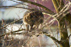 Cat on the hunt. Hunting cat sitting in a tree Royalty Free Stock Photo
