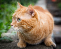 Cat on the hunt for prey. Red cat on the hunt for prey. Selective focus Stock Image