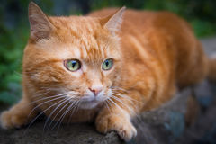 Cat on the hunt for prey. Red cat on the hunt for prey. Selective focus Stock Images