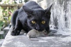 Cat hunt rat. Survival Loss Stock Photography