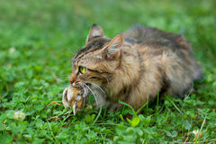 Cat hunted a bird. Cat with the bird in his mouth Stock Images