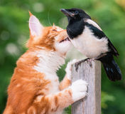 Cat hunted a bird. Domestic red Maine Coon kitten, 4 months old, hunted a nestling of magpie Royalty Free Stock Images