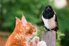 Cat hunted a bird. Domestic red Maine Coon kitten, 4 months old and nestling of magpie. Cat hunted a bird Royalty Free Stock Images