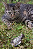 Cat hunted a bird. On meadow Stock Photography