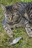 Cat hunted a bird. On meadow Royalty Free Stock Photo