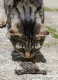 Cat hunted a bird. On street royalty free stock image