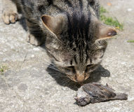 Cat hunted a bird. On the street stock image