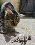 Cat hunted a bird. On street Stock Photography