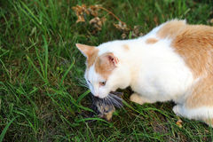 Cat with hunted down bird. Red and white cat with hunted down bird stock photo