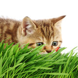 Cat hunter. Cat behind grass isolated on white background Royalty Free Stock Photos