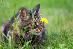 Cat hunter Royalty Free Stock Image