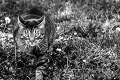 Cat The Hunter. Black and white shot of a cat pouncing in the grass Royalty Free Stock Photography