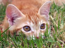 Cat on hunting. The cat creeps to extraction Royalty Free Stock Photo