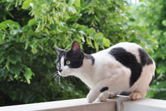 Cat hunting. Black and white european cat ready for hunting Stock Photography