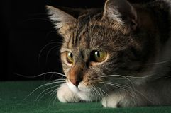 Cat hunting. Close up of a cat while hunting Royalty Free Stock Image