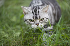 Cat hunting Royalty Free Stock Images