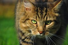 Cat Hunting. This male tabby cat looks as though he is on the hunt for his next meal Royalty Free Stock Photos