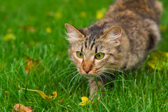 Cat is hunting. Small cat is hunting on green grass Royalty Free Stock Photos