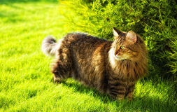 Cat hunting. My siberian cat otuside my country house near Moscow stock photo