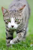 Cat is hunting Stock Image