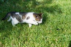 Cat Hunting Imagens de Stock Royalty Free