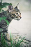 Cat hunting behind green grass Royalty Free Stock Images