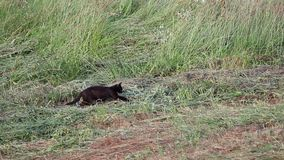 Cat hunting. Black domestic cat hunting in the meadow. Stalking and jump, mouse caught
