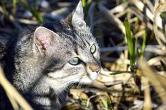 Cat hunting in bushes Stock Photography