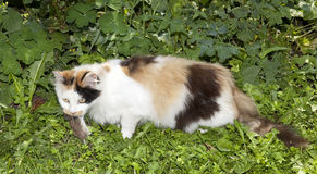 Cat Hunting. Cat carrying dead mouse in mouth Royalty Free Stock Photos