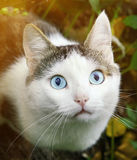Cat hunting close up portrait. Blue eyed cat hunting close up portrait Stock Photos