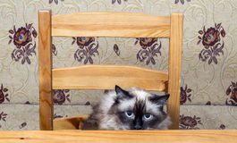 Cat hunting dinner. Restless cat sitting on chair at wooden table royalty free stock photography