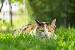 Cat Hunting in Grass. Cat hunting in a green grass garden Stock Image