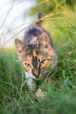 Cat hunting through grass Stock Images