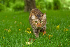 Cat is hunting in green grass Royalty Free Stock Photos