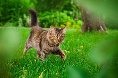 Cat is hunting in green grass stock photo