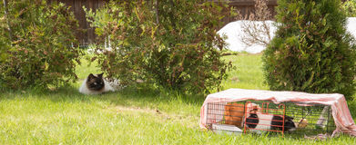 Cat is hunting guinea pigs Royalty Free Stock Photos