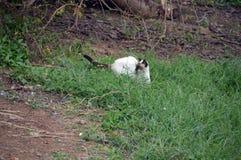 Cat hunting for a hidden lizard 2. A cat laying in wait for a garden lizard Stock Photo