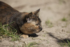 Cat hunting hiding in grass outdoors Stock Images