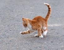 Cat hunting for mosquito Stock Photography