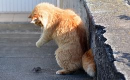 Cat hunting a mouse. In the garden Stock Photo