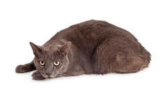 Cat in Hunting Position Over White Stock Image