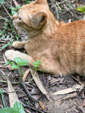 Cat Hunting Snake Fotografia Stock