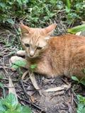Cat Hunting Snake Fotografie Stock Libere da Diritti