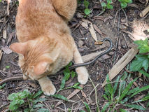 Cat Hunting Snake Fotografia Stock Libera da Diritti