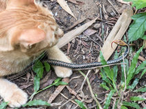 Cat Hunting Snake Stock Images