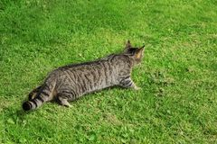 Cat hunting. Tabby cat outdoor on green grass. stock image